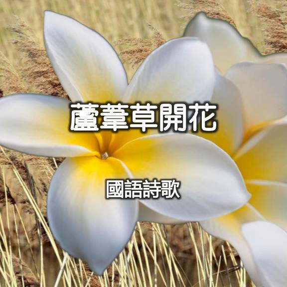 蘆葦草開花